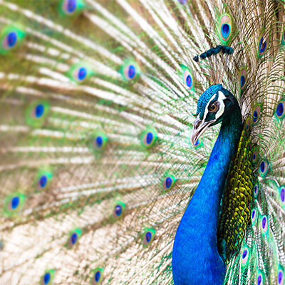 Peacock Tattoo & Peacock Feather Tattoo *2021 New Best
